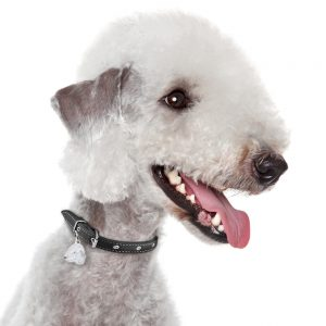 Bedlingtong Terrier Hundetegn