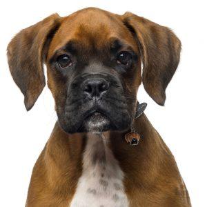 Boxer hundetegn