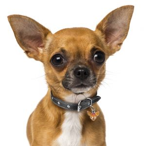 Chihuahua hundetegn