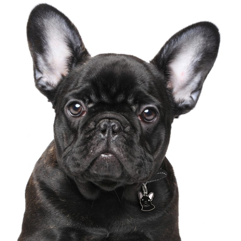 Fransk bulldog hundetegn