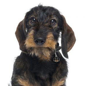 Ruhåret gravhund hundetegn