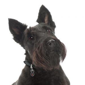 Skotsk Terrier hundetegn